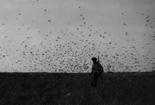 Nuage de criquets dans le Sahara Occidental (1944)