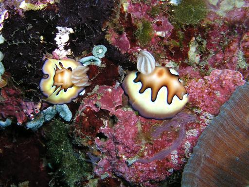 Nudibranches sur éponges