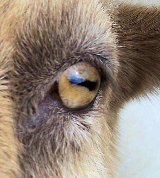 Oeil de chèvre