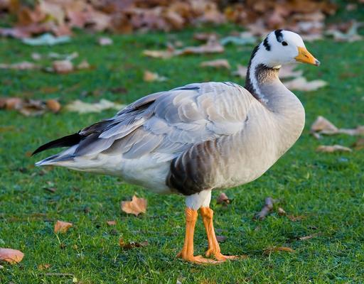 Oie à tête barrée en hiver
