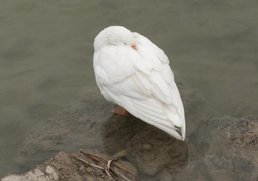 Oie blanche au repos en Turquie