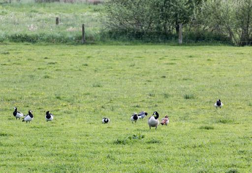 Oies bernache dans la réserve naturelle de Dülmen