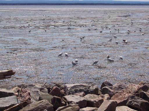 Oies blanches du Cap tourmente au Québec