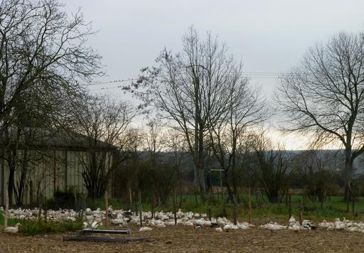 Oies de ferme en Béarn