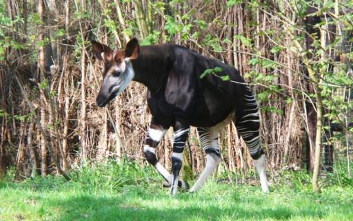 Okapi en forêt