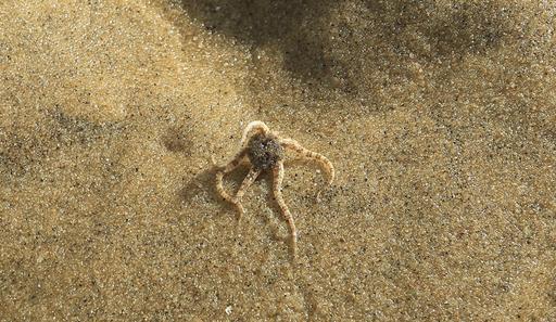 Ophiure couleur de sable à Péreire à marée basse