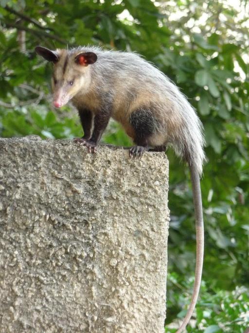 Opossum à Caracas
