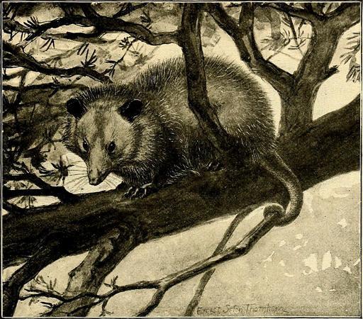 Opossum d'Amérique dans un arbre