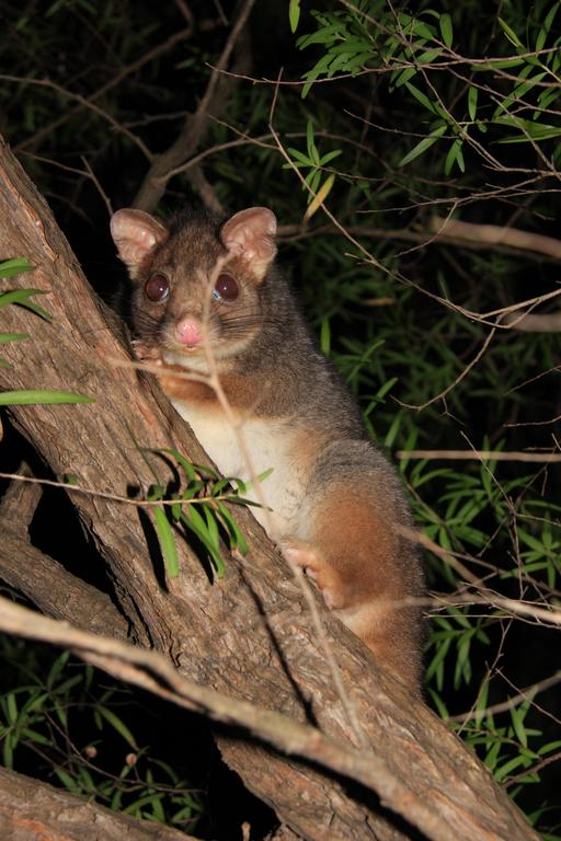 Opossum d'Australie