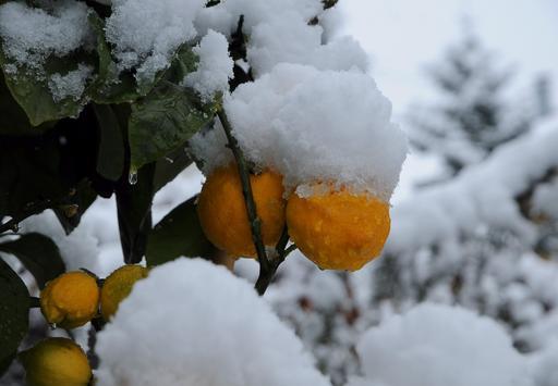 Orangers sous la neige
