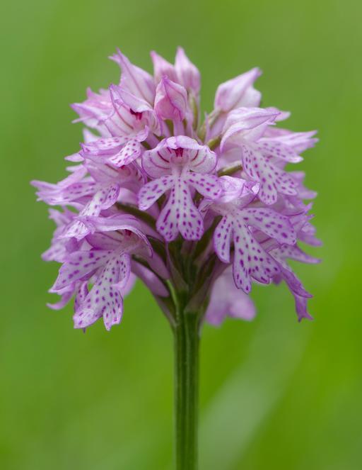 Orchis dentelé