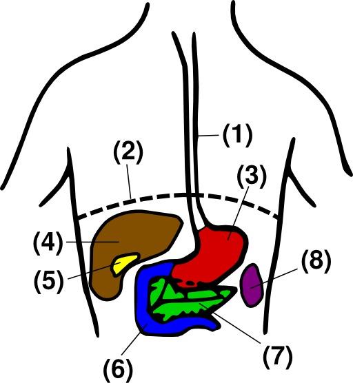 Organes de l'abdomen