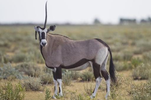 Oryx unicorne en Namibie