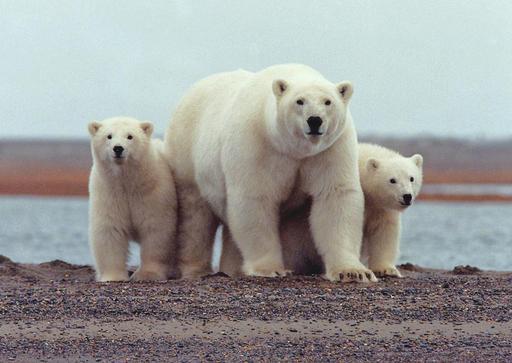 Ours blanc et ses petits