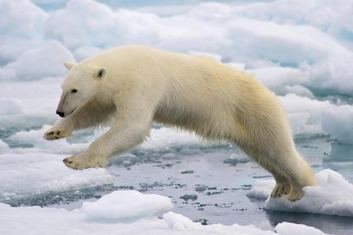 Ours blanc sur la banquise en Norvège