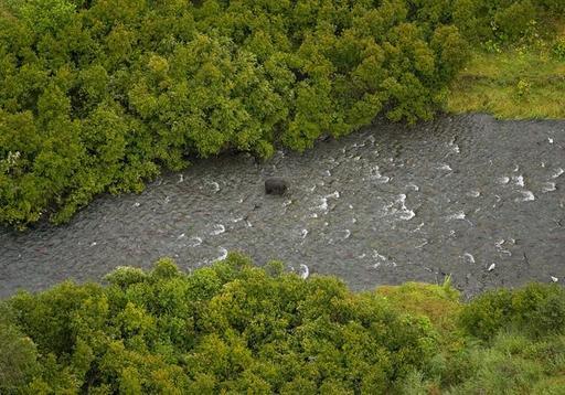 Ours pêchant dans une rivière