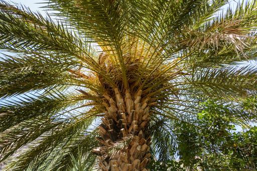 Palmier dattier crétois