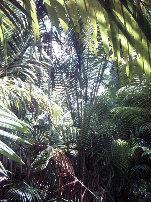 Palmier sagoutier de Papouasie