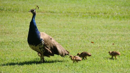 Paon bleu et ses petits