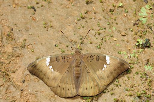 Papillon d'Inde