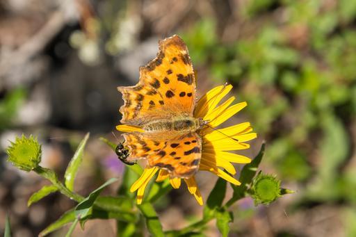 Papillon dit Robert-le-Diable
