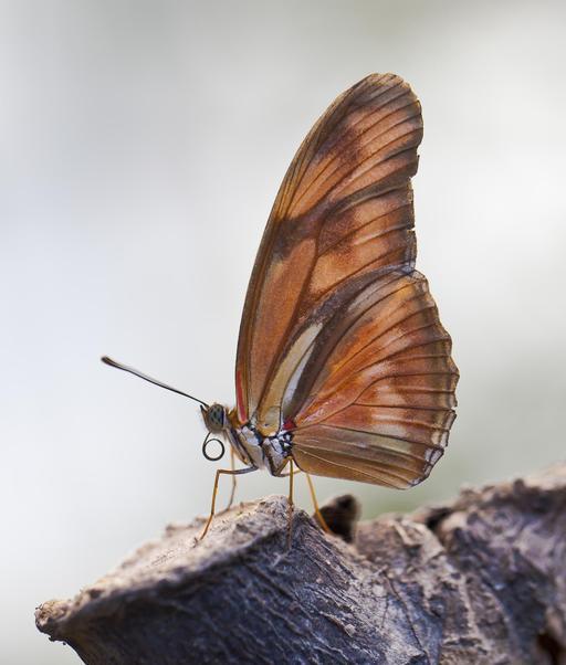 Papillon Dryas iulia à Ténérife