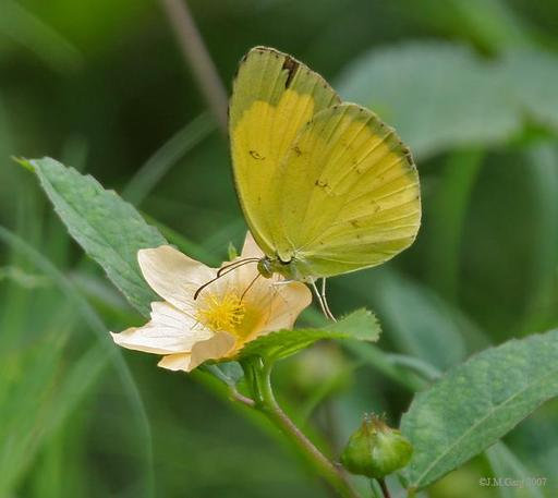 Papillon jaune en Inde