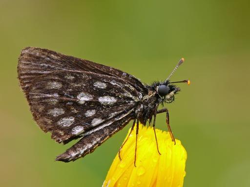 Papillon miroir posé sur une fleur jaune