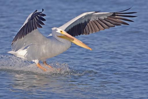 Pélican blanc en train d'amerrir