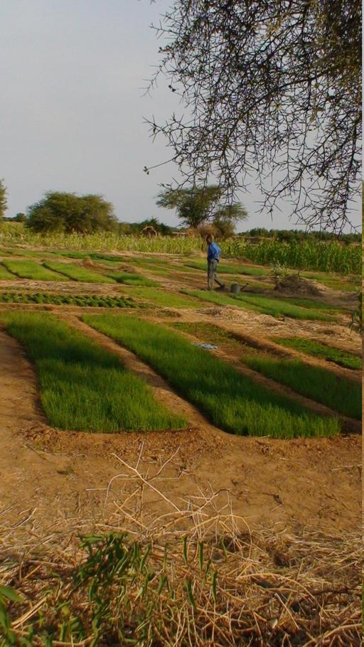 Pépinière d'oignons au Sénégal