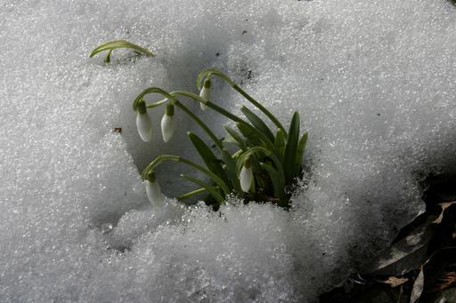 Perce-neige sous la neige