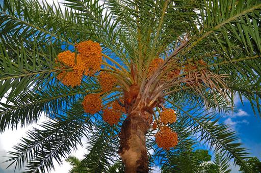 Photographie de palmier dattier