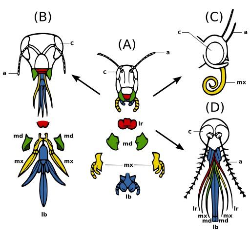 Pièces buccales des insectes
