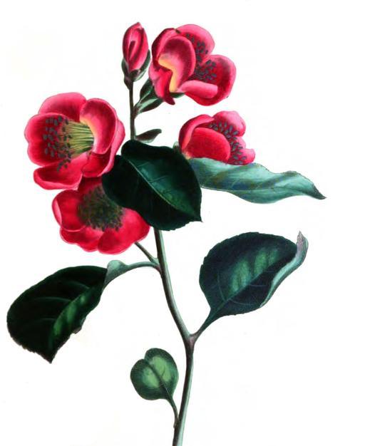 Pieris japonica en 1836