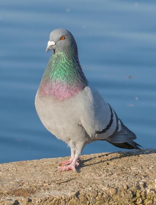 Pigeon biset en Allemagne