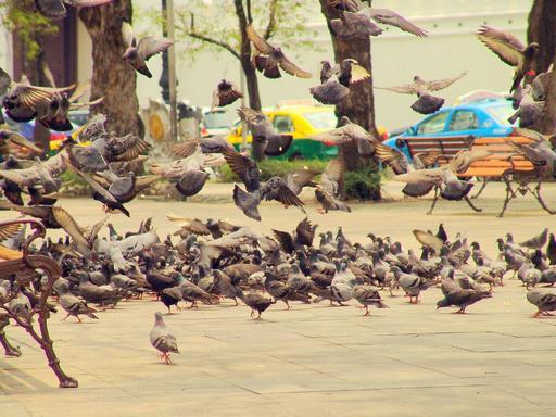 Pigeons de ville à Bangkok