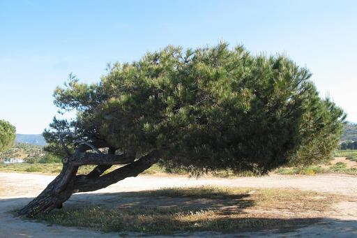 Pin parasol couché par le vent en Corse
