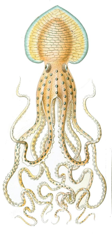 Poulpe Pinnoctopus cordiformis