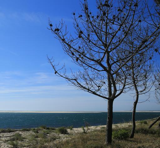 Pins morts sur le littoral au Petit-Nice