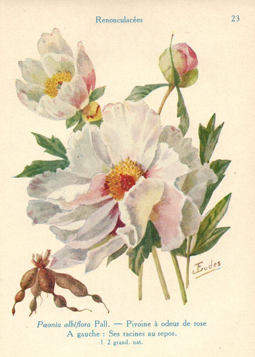 Pivoines à odeur de roses