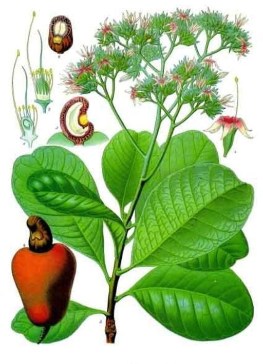Planche botanique d'Anacardium occidentale