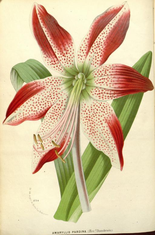 Planche botanique d'Hippeastrum pardinum