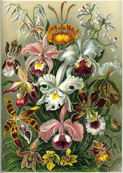Planche botanique d'orchidées en 1904
