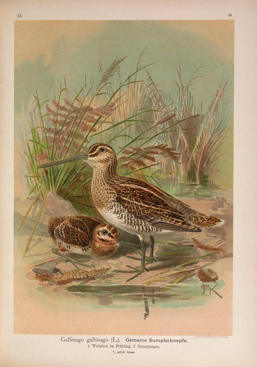 Planche botanique de bécassine des marais avec oisillon
