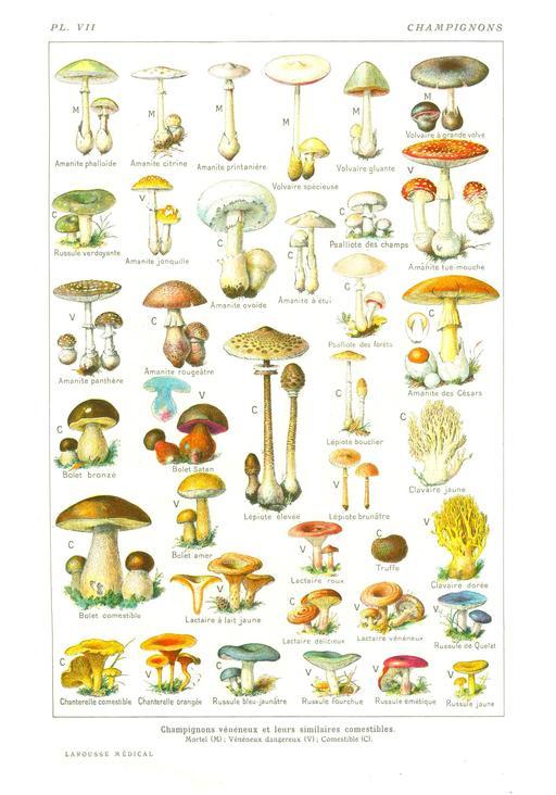 Planche botanique de champignons