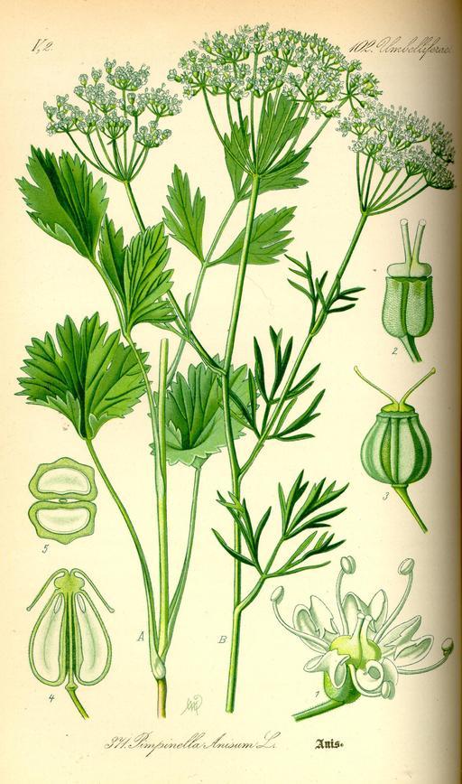 Planche botanique de l'anis vert en 1885