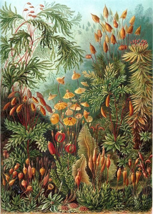 Planche botanique de mousses Muscinae en 1904