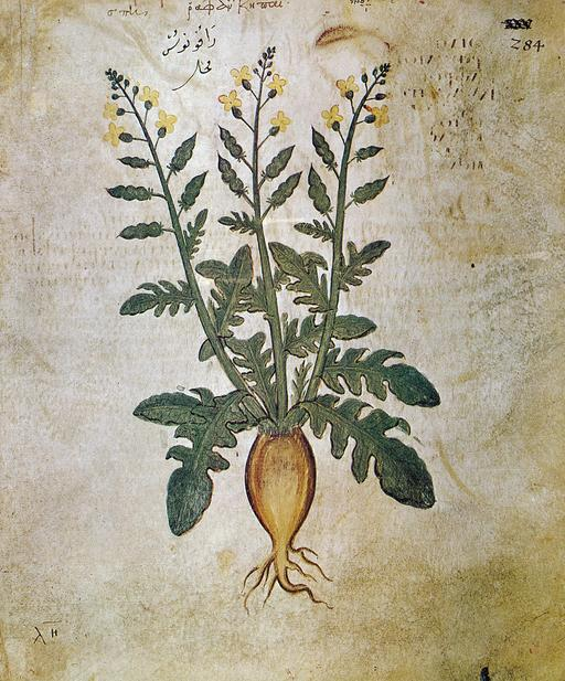 Planche botanique de radis