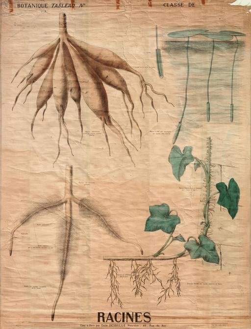 Planche botanique des racines