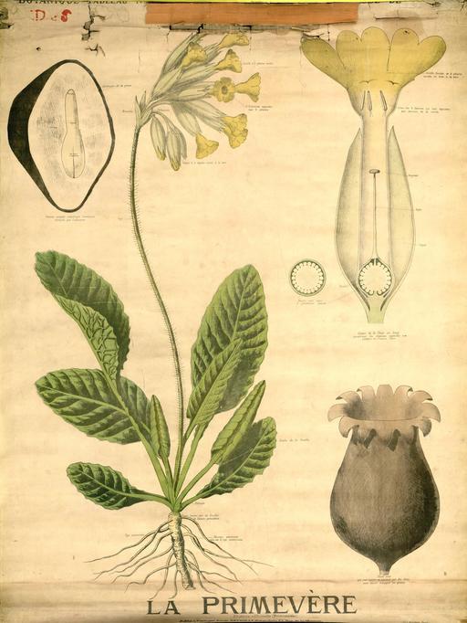 Planche botanique Deyrolle de la primevère